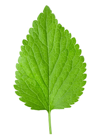 nettle: nettle isolated on the white background. Stock Photo