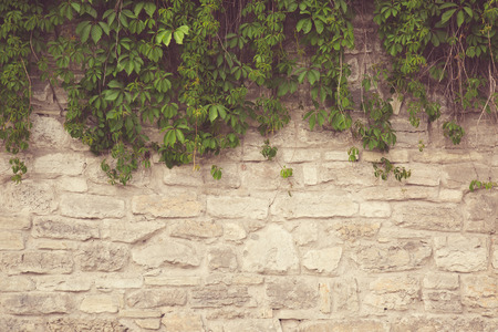 ivy wall: stone wall with ivy. Stock Photo