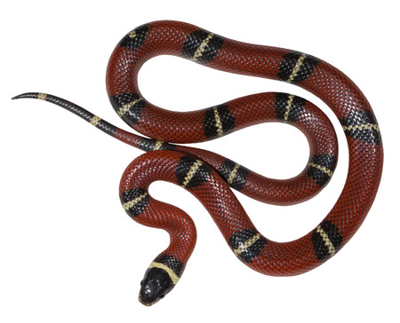 Sinaloan milk snake isolated on the white background.