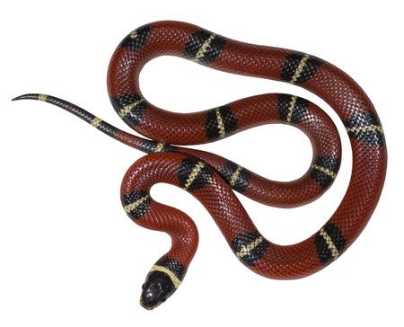 snake eyes: Sinaloan milk snake isolated on the white background.