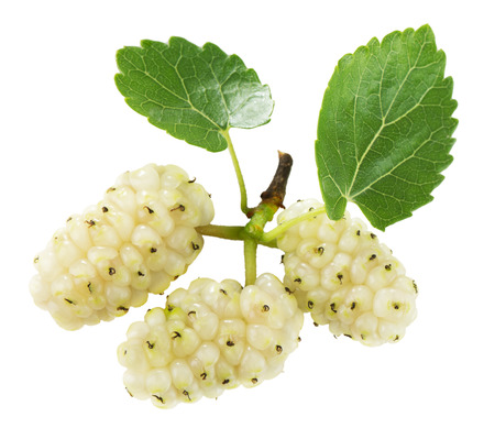 白い背景の白い桑の実。 写真素材