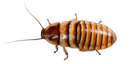 hiss: Madagascar Cockroach isolated on the white background.