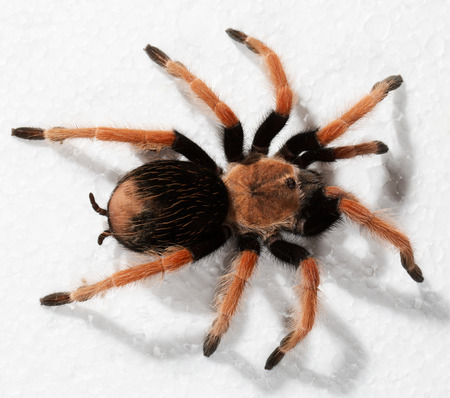 tarantula: tarantula.