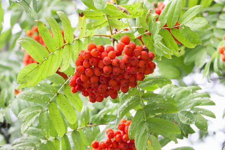 rowan: close up of red rowan.