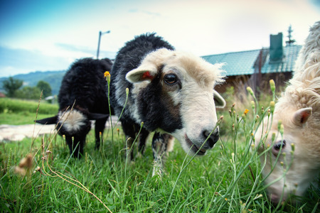 farm animals: close up of sheep in a field. Stock Photo