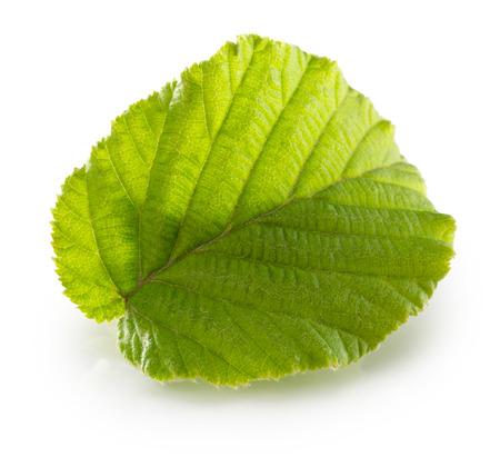 alder: hazelnut leaf isolated on the white background. Stock Photo
