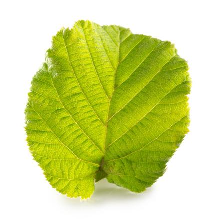 filberts: hazelnut leaf isolated on the white background. Stock Photo