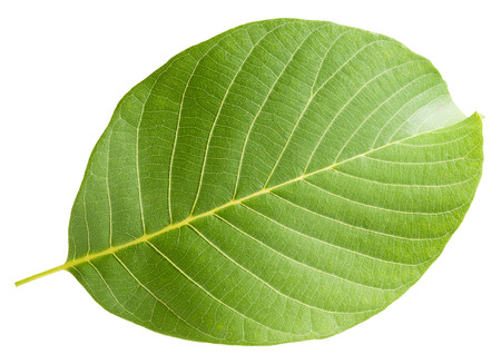 walnut leaf isolated on the white background.