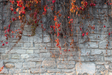 ivy wall: red autumn ivy leaves on the stone wall background.
