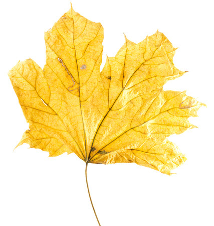 fall colors: autumn yellow maple leaf isolated on the white background.