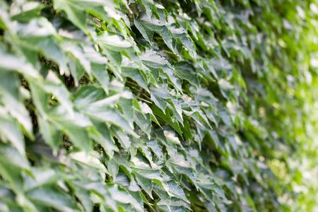 ivy wall: close up of ivy wall.