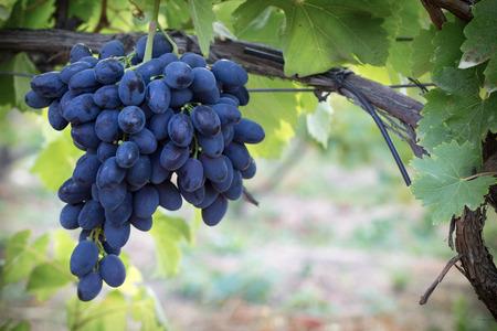 concord grape: purple grapes on vine in garden. Stock Photo