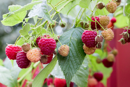 close up: close up of raspberries.