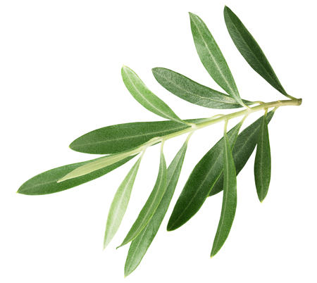 branch with olive leaves isolated on a white background.
