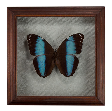 Butterfly Morpho patroclus in frame isolated on white background.