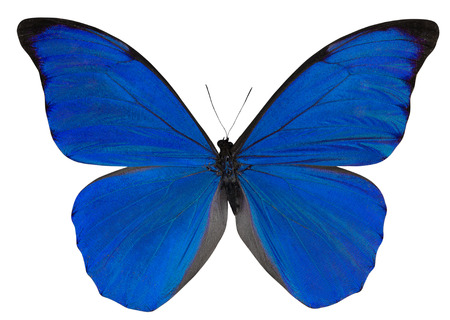 Butterfly Morpho anaxibia isolated on white background.