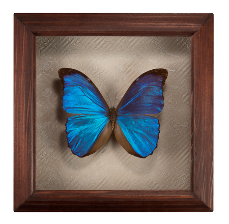 Butterfly Morpho menelaus in frame isolated  on white background.