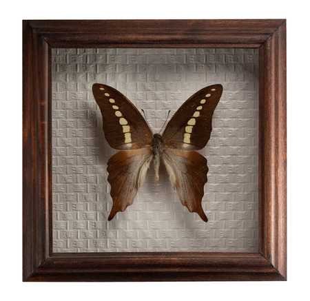 Butterfly graphium codrus in frame isolated on white background. Stock Photo