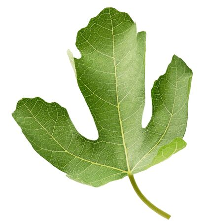fig leaf isolated on a white background. Banque d'images