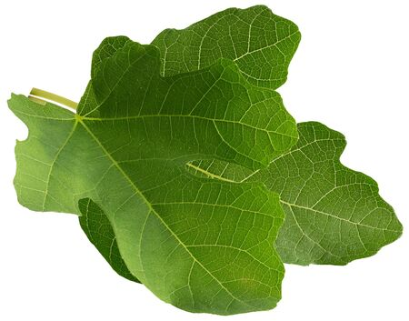 fig leaves isolated on a white background.