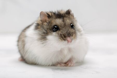 hamster on the grey background.