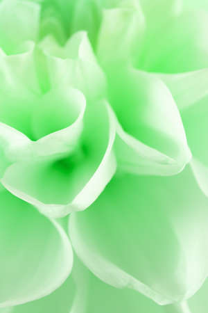 close up of green dahlia. Stock Photo