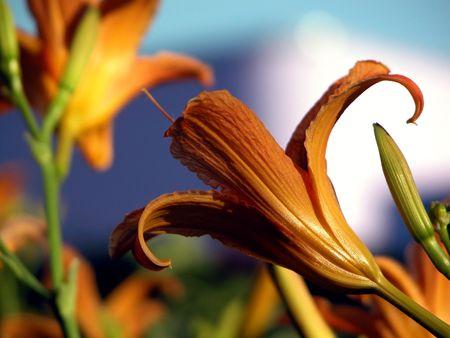 lily flowers: azucena, lirio de color naranja, flores