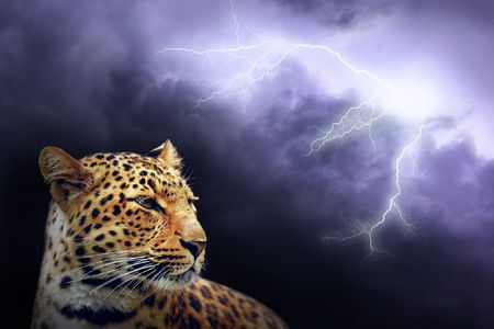 Leopard and lightning on the dark sky  photo