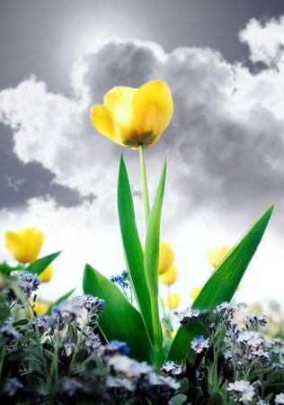 Tulip and grass with blue sky and clouds in the background photo