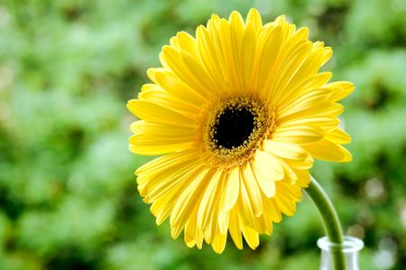 Yellow beautiful gerbera on sky background Stock Photo - 7851348