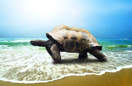 tortoise: Big Turtle on the tropical oceans beach Stock Photo
