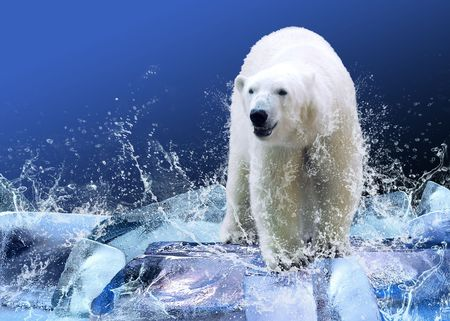polar bear on the ice: White Polar Bear Hunter on the Ice in water drops.