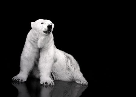 polar bear on the ice: White Polar Bear Hunter - sitting Stock Photo