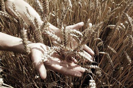 yellow  agriculture: Manos en el campo de trigo dorado