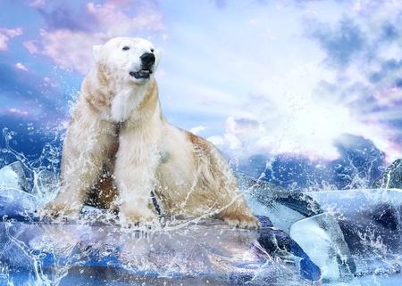 klima: White Polar Bear Hunter auf dem Eis in den Wassertropfen.
