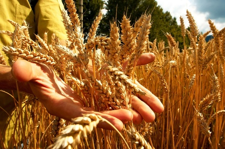 crop harvesting: Hands on the golden wheat field Stock Photo