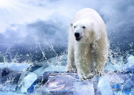 oso: Blanco Hunter de Oso Polar en el hielo en gotas de agua.