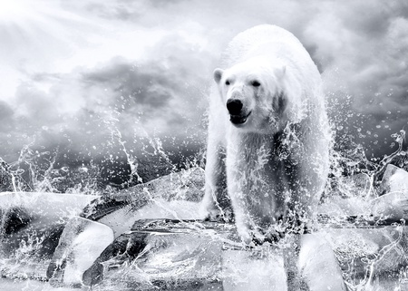 polar bear on the ice: White Polar Bear Hunter on the Ice in water drops.  Stock Photo
