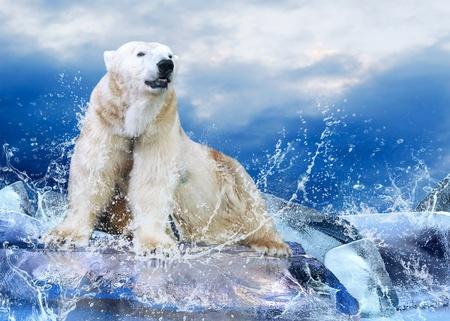 oso blanco: White Hunter de Oso Polar en el hielo en gotas de agua. Foto de archivo