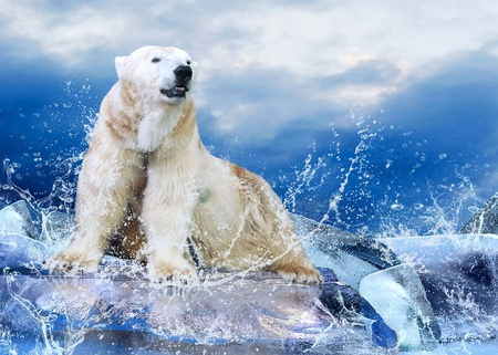 polar bear on the ice: White Polar Bear Hunter on the Ice in water drops.