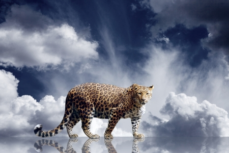 leopard: Predator stay on the sky background Stock Photo