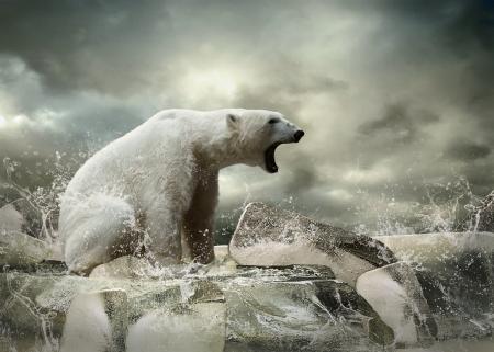 Blanco Polar Bear Hunter en el hielo en gotas de agua.