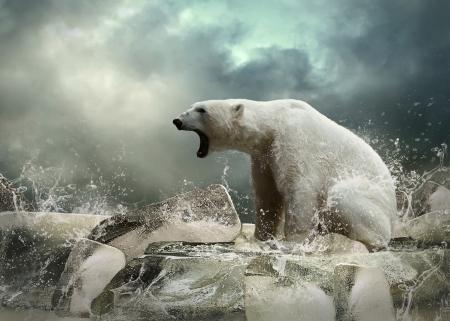Blanco Polar Bear Hunter en el hielo en gotas de agua. Foto de archivo