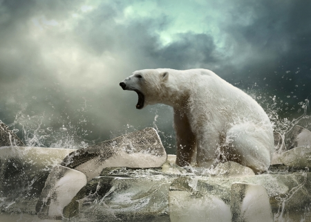 north pole: White Polar Bear Hunter on the Ice in water drops.