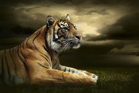 Tiger looking and sitting under dramatic sky with clouds photo