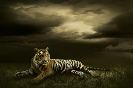 Tiger looking and sitting under dramatic sky with clouds Stock Photo