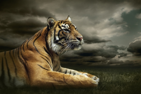 Tiger looking and sitting under dramatic sky with clouds Zdjęcie Seryjne