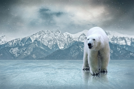 polar bear on the ice: White polar bear on the ice Stock Photo