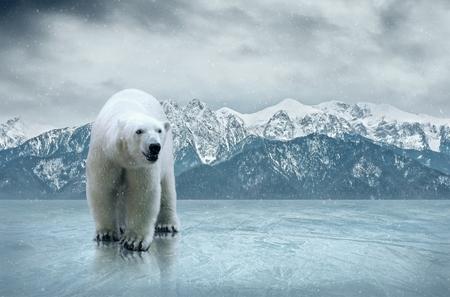 얼음에 흰색 북극곰