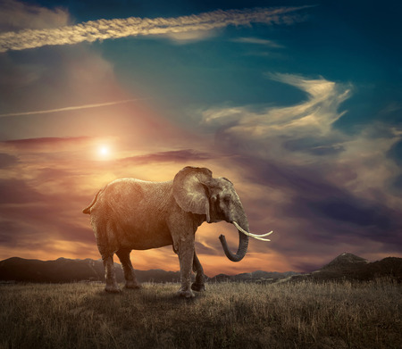 Elephant with trunks and big ears outdoor under sunlight. Stockfoto